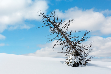 Picturesque withered windbreak tree on winter sunny snowdrift mountain hill slope on cloudy blue sky background.