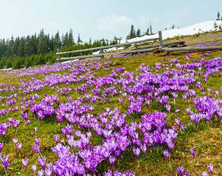 Colorful blooming purple violet Crocus heuffelianus (Crocus vernus) alpine flowers on spring Carpathian mountain plateau valley, Ukraine, Europe.