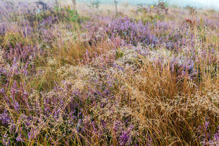 Early misty morning dew drops on wild mountain grassy meadow with wild lilac heather flowers and spider web. Archivio Fotografico