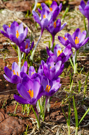 Colorful blooming purple violet Crocus heuffelianus (Crocus vernus) alpine flowers on spring Carpathian mountain plateau valley, Ukraine, Europe. Beautiful conceptual spring or early summer scene.