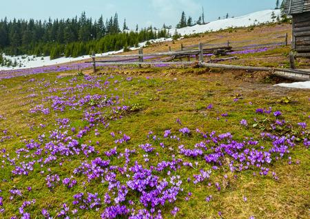 Colorful blooming purple violet Crocus heuffelianus (Crocus vernus) alpine flowers on spring Carpathian mountain plateau valley, Ukraine, Europe. Beautiful conceptual spring or early summer landscape.