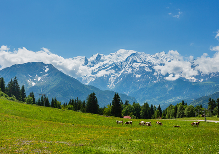 Herd cows on blossoming glade and Mont Blanc mountain massif (Chamonix valley, France, view from Plaine Joux outskirts). 写真素材