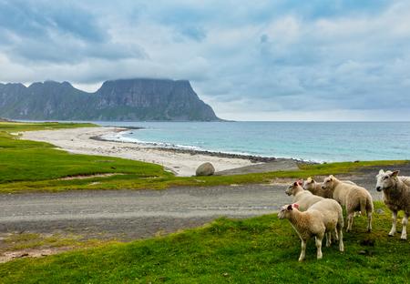 Flock of sheep near Haukland beach. Summer cloudy view. Norway, Lofoten.