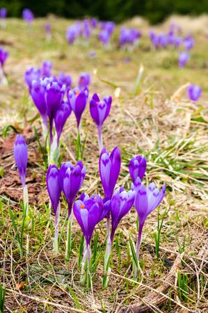 Colorful blooming purple violet Crocus heuffelianus (Crocus vernus) alpine flowers on spring mountain plateau valley. Reklamní fotografie