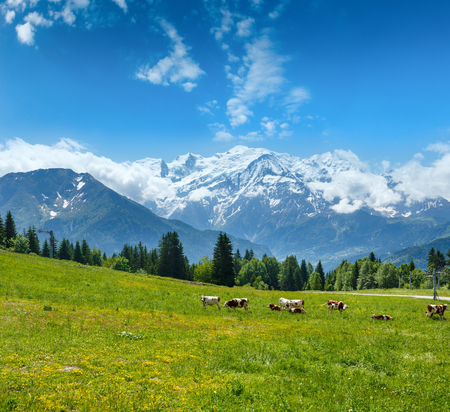 Herd cows on blossoming glade and Mont Blanc mountain massif (Chamonix valley, France, view from Plaine Joux outskirts).