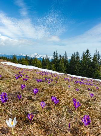 Violet Crocus heuffelianus (Crocus vernus) alpine flowers on spring Carpathian mountain plateau valley, Ukraine, Europe.  Composite image with considerable depth of field sharpness. Stock Photo