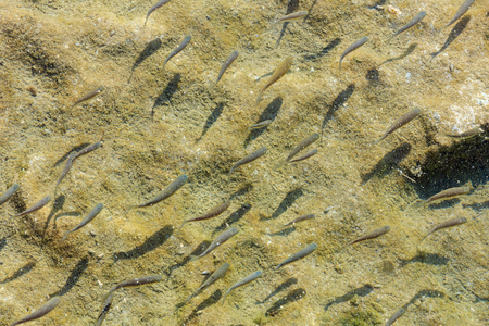 Flock of small fish on the background of sandy bottom of sea or lake.