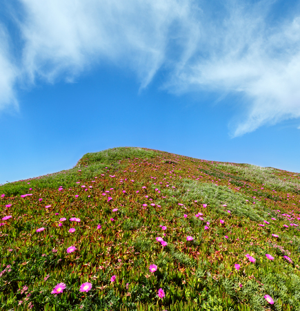 Summer blossoming hill with Carpobrotus pink flowers and blue sky with cloud