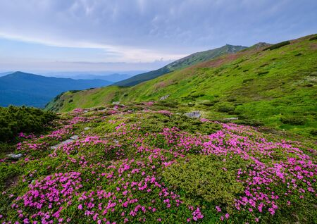 Pink rose rhododendron flowers (in front) on summer mountain slope and Pip Ivan Mount peak behind.