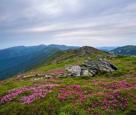Pink rose rhododendron flowers on summer mountain ridge 版權商用圖片