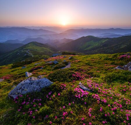 Pink rose rhododendron flowers on early morning summer mountain slope, Carpathian, Chornohora, Ukraine. Banco de Imagens