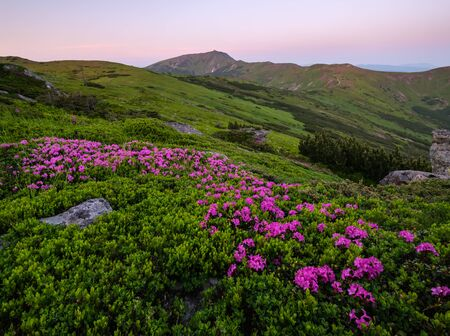 Pink rose rhododendron flowers (close-up) on early morning summer mountain slope and Pip Ivan Mount top.