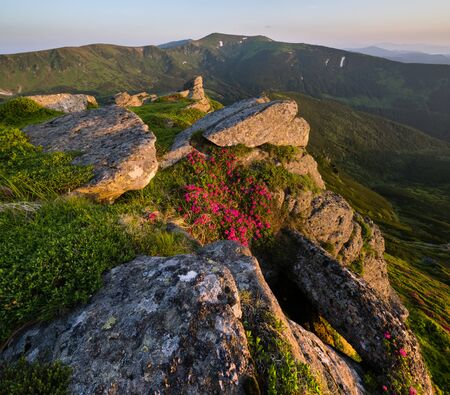 Pink rose rhododendron flowers on early morning summer mountain slope Stock Photo