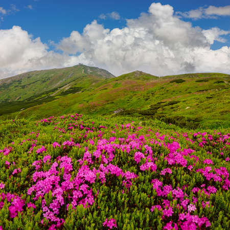 Pink rose rhododendron flowers (in front) on summer mountain slope and Pip Ivan Mount peak behind. Carpathian, Chornohora, Ukraine.