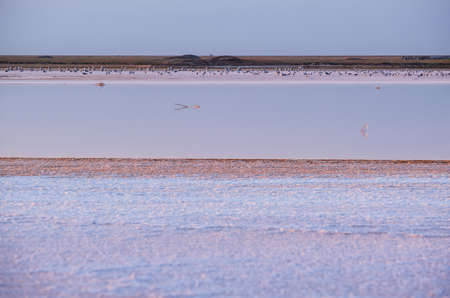 Seagull birds on sunset Genichesk pink extremely salty lake (colored by microalgae with crystalline salt depositions), Ukraine.