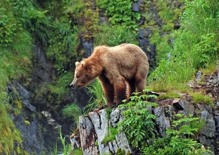 grizzly: Cette photo est prise sur l'�le de Kodiak d'un grizzli regarder l'habitat � proximit� de Fraser Lake Banque d'images