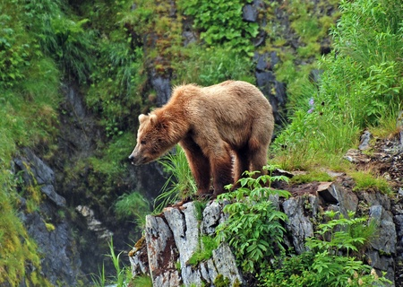 bear lake: This picture is taken on Kodiak Island of a Grizzly Bear watching the habitat near Fraser Lake Stock Photo
