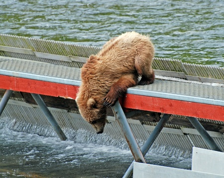 omnivore animal: Grizzly Bear trying to get fish from a weir on Kodiak island in Alaska