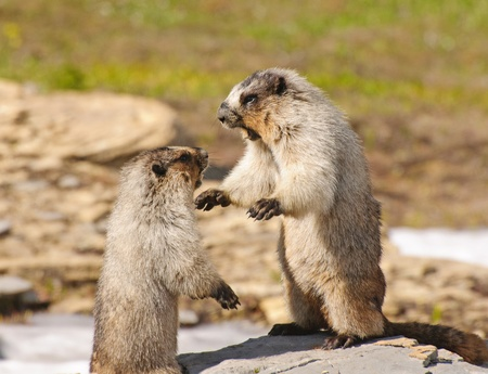 hoary: Hoary Marmots fighting in Glacier National Park