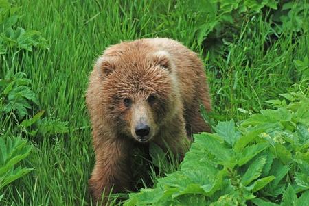 A young Kodiak Bear near Fraser Lake on Kodiak Island Stock Photo