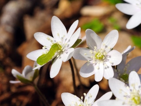hepatica: Hepatica acutiloba with a caterpillar on it in the Smoky Mountains