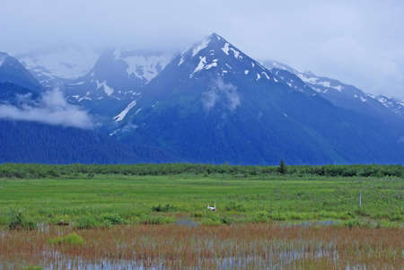 Trumpeter Swan habitat in Copper River Basin with the Chugach Mountains near Cordova, Alaska photo