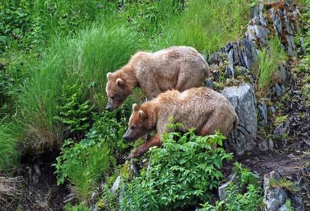 fend: Questi due giovani orsi sono stare insieme per respingere un maschio pi� grande su Kodiak Island.