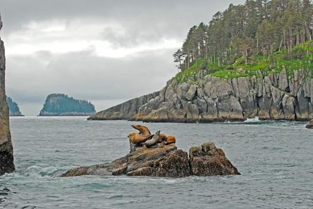 Stellar Sea Lions on rock outcrop in Kenai Fjords National Park