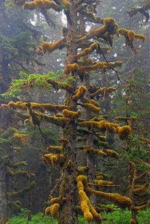 picea: This Sitka Spruce was taken on a foggy day on Kodiak Island in Alaska Stock Photo