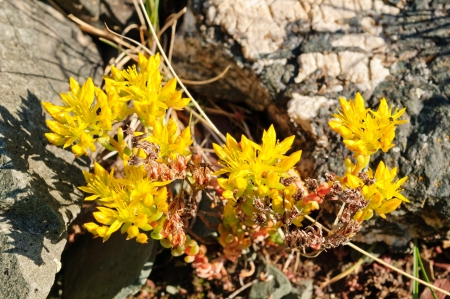 alpine tundra: Stone crop in the alpine tundra of Glacier National park
