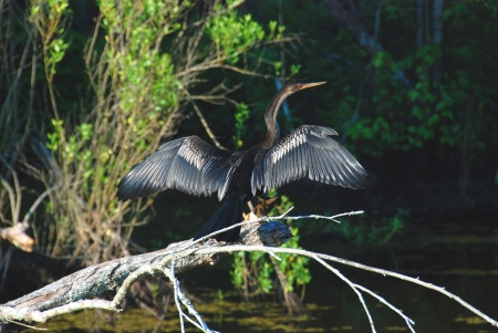 bayou swamp: This Anhinga was taken in a Bayou southwest of New Orleans Stock Photo