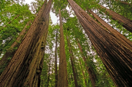 Coastal Redwoods on the California Coast photo