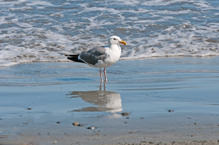 Herring Gull reflected in the water on the California Coast photo