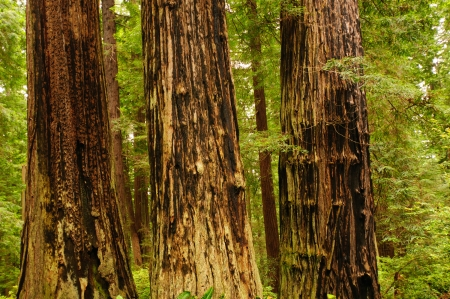 Fire damage on Coastal redwoods in California photo