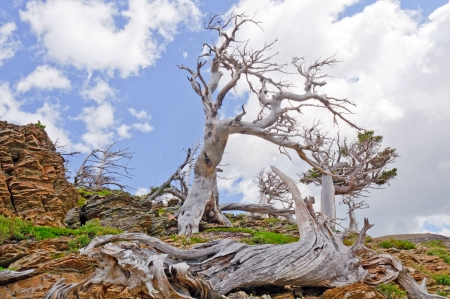 national scenic trail: Tree skeletons along the scenic point trail in Glacier National Park