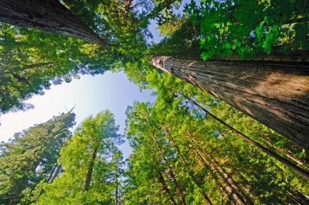 pine creek: Coastal Redwood trees on the Coast of California