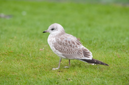 Immature Scandinavian Herring Gull near Bergen, Norway