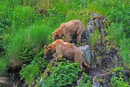 fraser river: Two Kodiak Bears watching a larger male on Kodiak Island