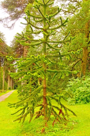 A Monkey Puzzle Tree in an Irish Formal Garden Stock Photo - 18341497