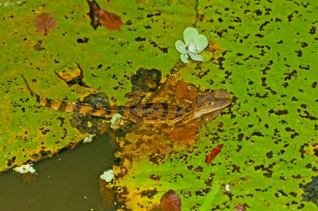 amazon rain forest: Spectacled Caiman on a Lily Pad in the Amazon Rain Forest