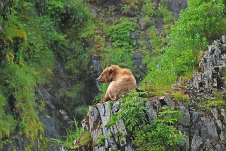 fraser river: Grizzly resting near the Fraser River on Kodiak Island