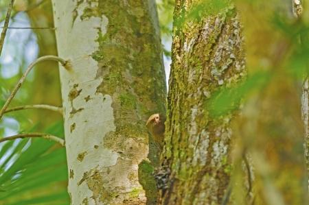 amazon rain forest: Pygmy Marmoset in the Peruvian Amazon rain forest Stock Photo