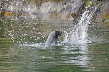 pinniped: New Zealand Fur Seal thrashing a fish in Milford Sound Stock Photo
