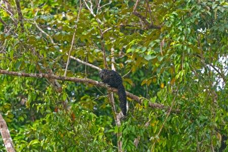 saki: Saki Monkey in the Peruvian Amazon