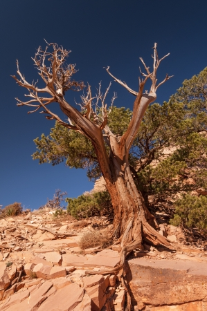 south kaibab trail: Weathered Tree along the South Kaibab Trail in the Grand Canyon