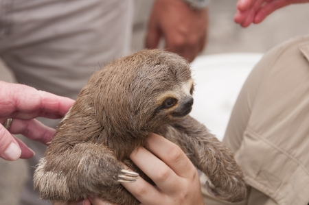 toed: Three-toed sloth in the main market in Iquitos, Peru