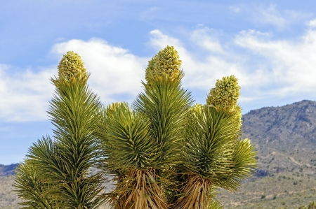 Joshua Tree in Bloom in the California Desert photo
