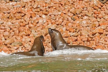 islas: South American Fur Seals on Islas Ballestas of Peru