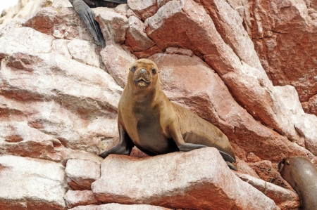 flavescens: female South American Sea Lion on the Ballestas Islands in South America