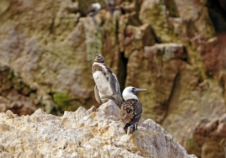 booby: Young Humboldt Penguin and a Peruvian Booby on the Ballestas Islands